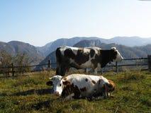 Коровы в пасти Стоковое Фото