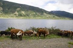 Коровы в Патагонии - Чили Стоковая Фотография RF