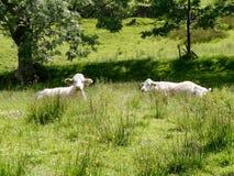 2 коровы в покое, показывающ интерес в камере Стоковое Изображение
