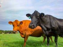 Коровы в поле, близко к телезрителю стоковое изображение rf