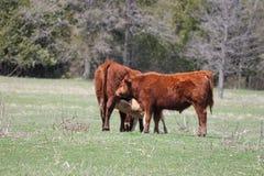 Коровы в поле - корове, икре, одногодке Стоковое Изображение
