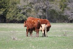 Коровы в поле - корове, икре, одногодке Стоковое Изображение RF