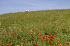 Коровы в поле лета с маками Стоковое фото RF