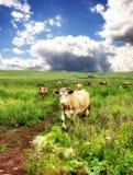 Коровы в поле в лете Стоковые Фотографии RF