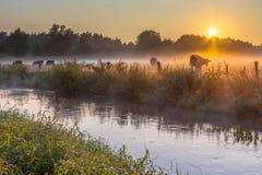 Коровы в поле на банке реки Dinkel на восходе солнца Стоковое Изображение