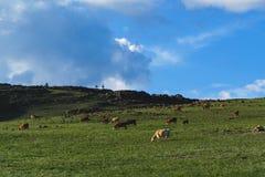 Коровы в поле в горах Стоковые Фото