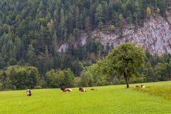 Коровы в поле в сельской Австрии Стоковые Изображения RF