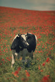 Коровы в поле лета Стоковые Изображения