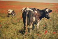 Коровы в поле лета Стоковое фото RF