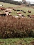 Коровы в поле на гавани Стоковые Фотографии RF