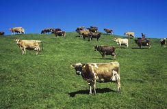 Коровы в поле на холме Стоковые Изображения RF