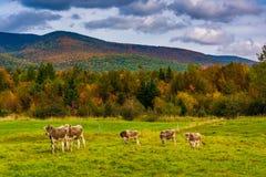 Коровы в поле фермы и цвете осени в белом nea гор Стоковая Фотография