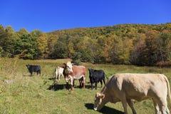 Коровы в поле Стоковые Изображения RF