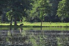 Коровы в поле Стоковая Фотография