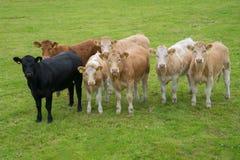 Коровы в поле Стоковое фото RF