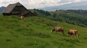 Коровы в поле, Moieciu, отрубях, Румынии стоковые фото