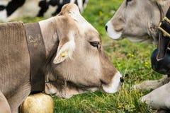 Коровы в природе Стоковые Фото