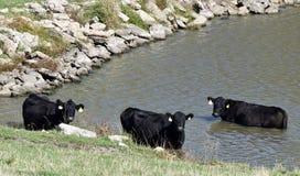 Коровы в пруде Стоковое Фото