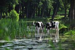 Коровы в пруде Стоковое Изображение RF