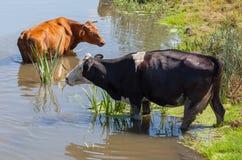 2 коровы в пруде Стоковые Изображения