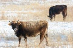 Коровы в пустыне в зиме Казахстане Kapchagai стоковое изображение rf