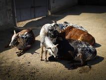Коровы в ручке снаружи Стоковая Фотография RF