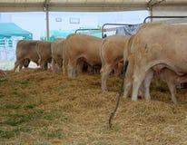 Коровы в сарае коровы Стоковое Изображение RF