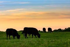 Коровы в силуэте против красочного неба стоковое фото rf