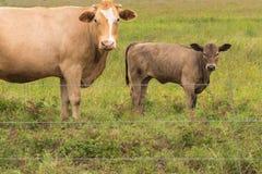 Коровы в сочном зеленом выгоне Стоковые Изображения