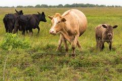 Коровы в сочном зеленом выгоне Стоковое Фото