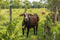 Коровы в сочном зеленом выгоне Стоковые Фотографии RF