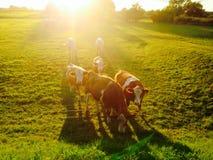 коровы в солнце сумерк вечера Стоковая Фотография