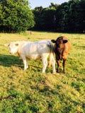 Коровы в стране стоковое фото