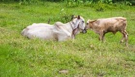 Коровы в Таиланде Стоковые Фотографии RF