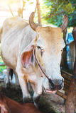 Коровы в тайской местной ферме Стоковые Изображения