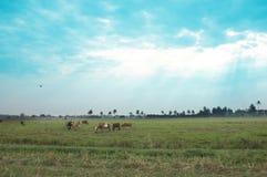 Коровы в травянистом поле на яркий и солнечный день в Таиланде Стиль сатурации Стоковая Фотография