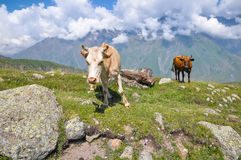 2 коровы в луге в горах Грузия Стоковое Изображение