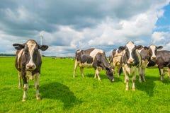 Коровы в луге в лете Стоковая Фотография RF