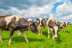 Коровы в луге в лете Стоковое фото RF