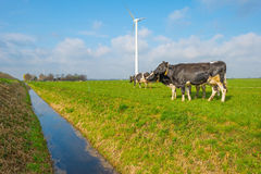 Коровы в луге в лете Стоковые Изображения RF