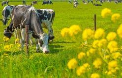 Коровы в луге в лете Стоковые Фото