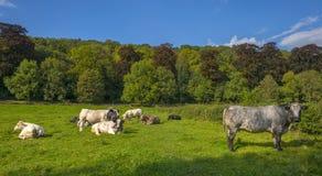 Коровы в луге в лете Стоковое Изображение