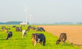 Коровы в луге в солнечном свете Стоковые Фото