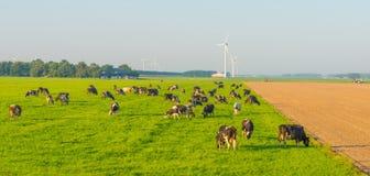 Коровы в луге в солнечном свете Стоковая Фотография RF