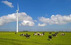 Коровы в луге в солнечном свете Стоковое Изображение RF