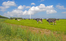 Коровы в луге в солнечном свете Стоковое фото RF