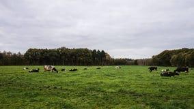 Коровы в луге есть лютики Стоковые Изображения