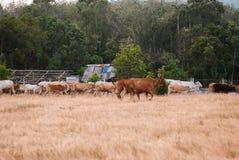 Коровы в луге желтого цвета Стоковое Фото