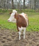Коровы в луге на ферме Стоковое фото RF