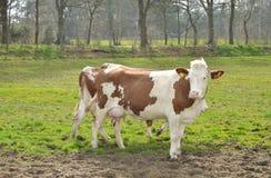 Коровы в луге на ферме Стоковые Изображения RF